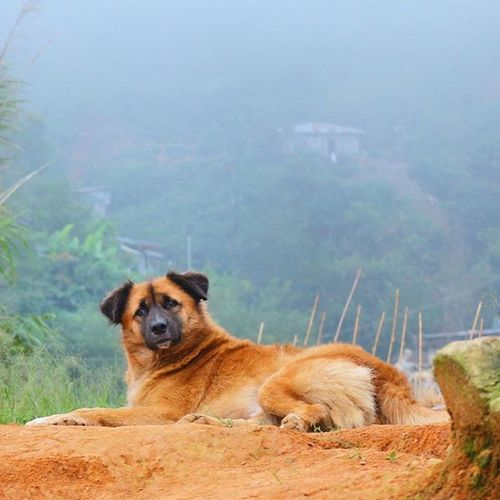 Resting like a boss. Somewhere in the upper hills of Benguet, this stray dog doesn't bother in the cold anyway. WhenInBaguio Dogsatbaguio Dogsofinstagram Dogsitting Instaanimal Aspin Pet Igersphilippines CreateShareInspire Snapshot Litratistadavao Ld_029 Dailylitrato Current_challenges Travelview GrammerPH Igdailly