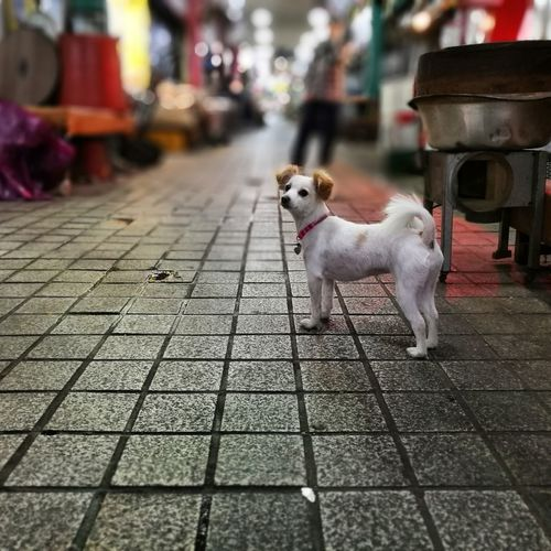 I am waiting.... Lap Dog Waiting At The Market Market Scene Market Tiled Floor Square Shape Focus On Foreground Pets Dog Sitting Sidewalk Terrier Puppy Stall Pet Collar Paving Stone Paved