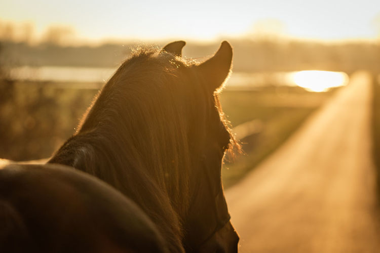 Close-up of horse during golden hour walking towards the sun Animal Themes Close-up Day Domestic Animals Focus On Foreground Golden Hour Horse Livestock Mammal Nature No People One Animal Outdoors Sky Sunset