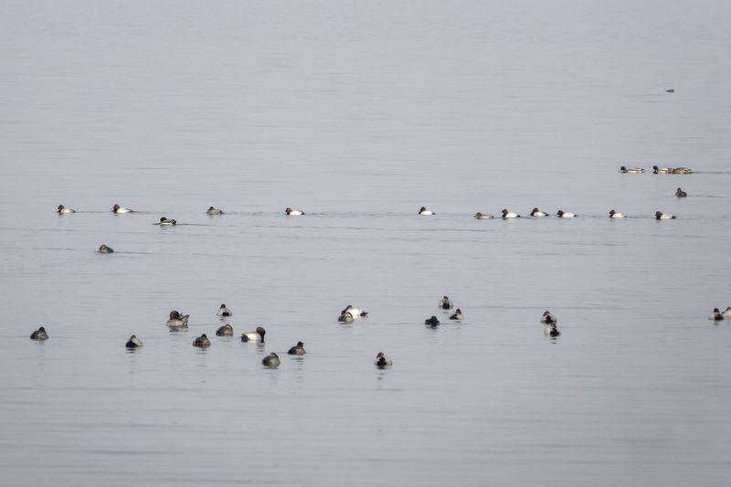 Flock of birds swimming on sea