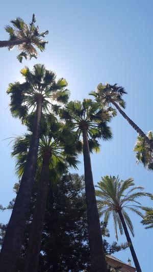 Plame sky Tree