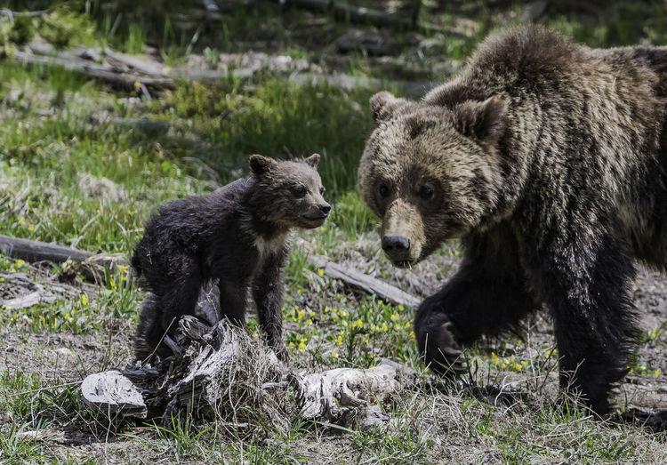 Bear in the wild
