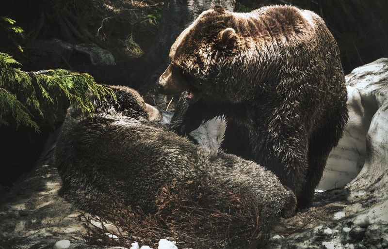 View of two grizzly bears play fighting in a forest