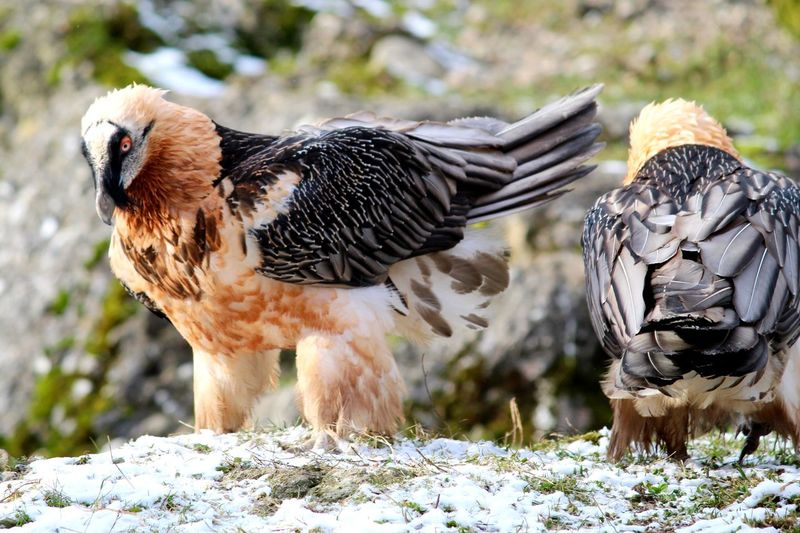 EyeEmNewHere Ossifrage Bearded Vulture Lammergeyer Lammergeier Bird Animal Themes Focus On Foreground Animals In The Wild Feather  Beak Nature Bird Of Prey Multi Colored Day Outdoors The Great Outdoors - 2018 EyeEm Awards