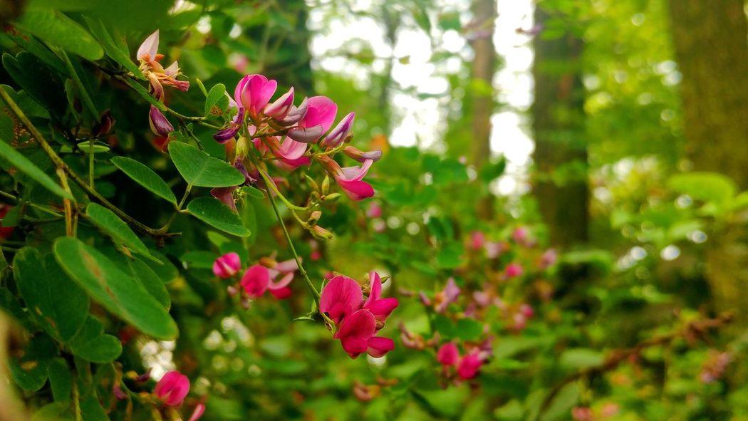 싸리꽃 Flower Freshness Fragility Pink Color Beauty In Nature In Bloom Selective Focus Nature Beautiful Nature