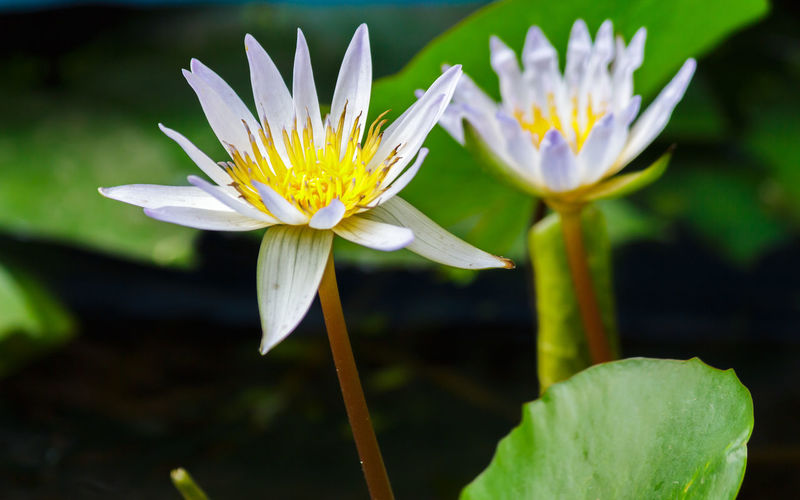 Beauty In Nature Close-up Day Floating On Water Flower Flower Head Flowering Plant Fragility Freshness Growth Inflorescence Leaf Lotus Water Lily Nature No People Outdoors Petal Plant Pollen Pond Vulnerability  Water Water Lily