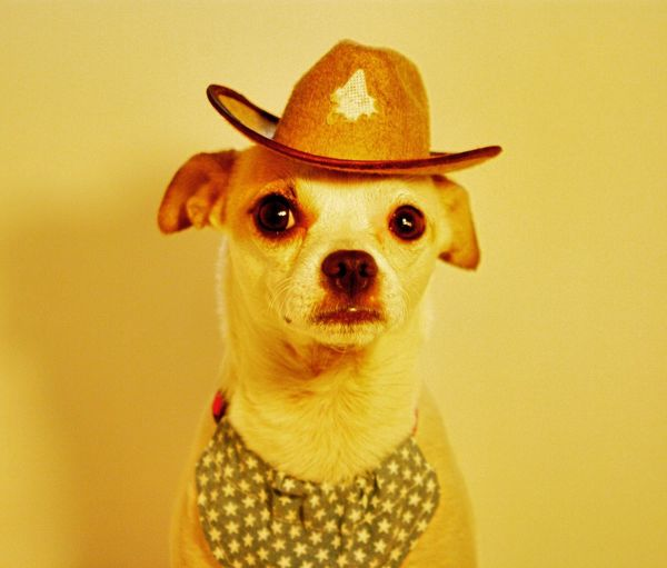 Loki is a cowboy. If you love animals follow @lokiandstan on instagram! Looking At Camera Studio Shot Portrait Close-up Dog No People Pets One Animal Indoors  Pet Clothing Animal Themes