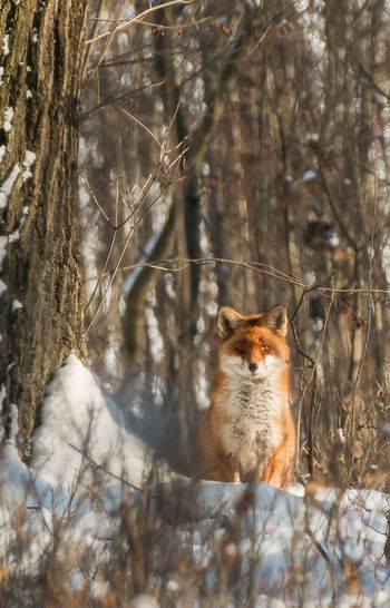 Portrait Of Fox In Forest
