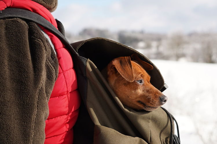 Close-up of a dog in backpack in snowy landscape