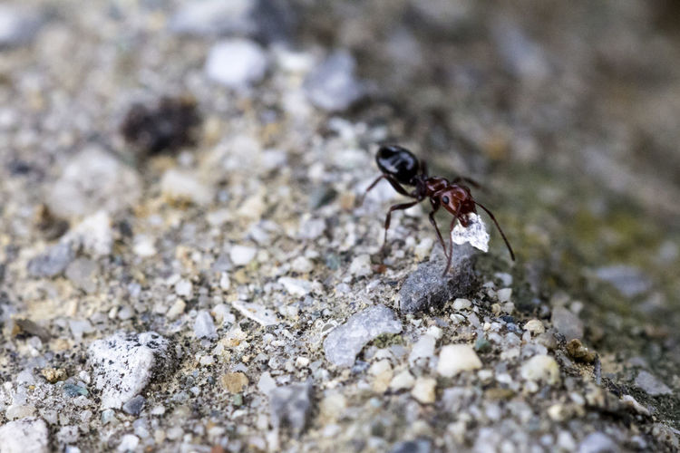 Animal Ant Ants Beauty In Nature Close-up Day Focus On Foreground Food Ground Insect Insect Photography Insects  Macro Macro Nature Macro Photography Macro_collection Nature No People Outdoors Rock Run Runner Running Selective Focus Wildlife