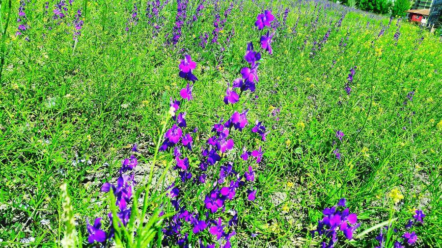 Soft4 Yabancıot Yabaniçiçekler Yabanibitkiler Yabani Hazeran Check This Out Tarla Land Yeşil Green Mor Purple Flowers Ankaradan Gimsa Yanı