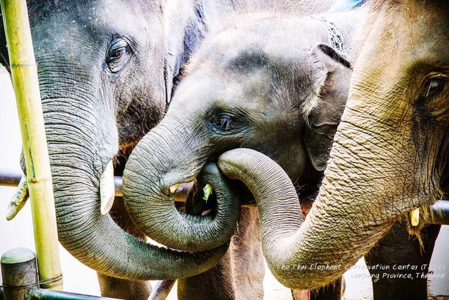 The Thai Elephant Conservation Center (TECC) Lampang | Thailand Thai Elephants EyeEm Nature Lover