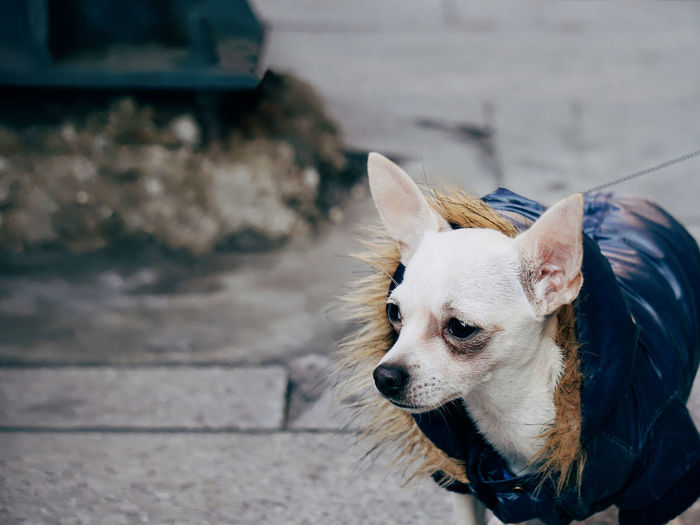 High angle view of chihuahua looking away on footpath