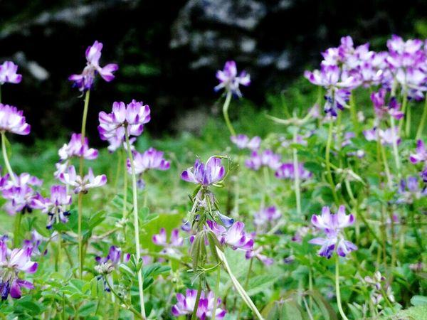 レンゲ Flowers Nature Milk Vetch 花 自然 れんげそう No People Plant