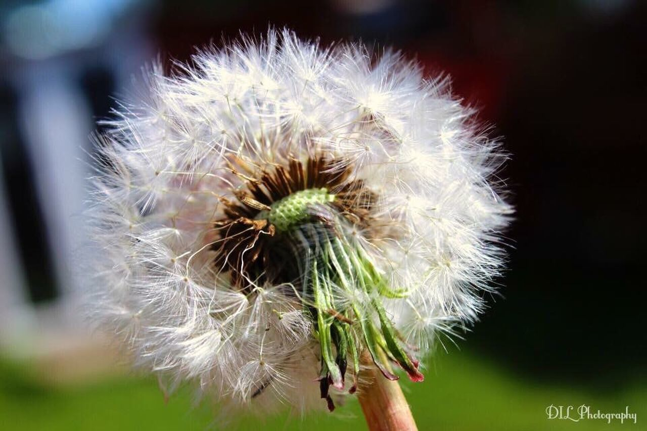 human hand, flower, human body part, dandelion, close-up, fragility, nature, holding, growth, one person, flower head, outdoors, day, freshness, beauty in nature, people, adult