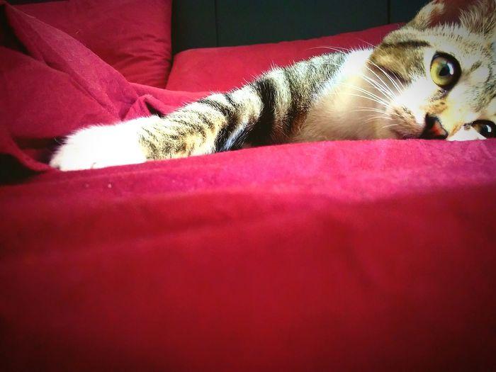 Meringa Cat EyeEmCatlovers EyeEm Best Shots Eyeem Cat Portraits Red Pourple