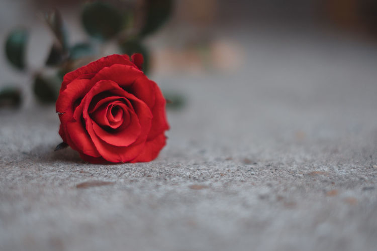Close-up of red rose on floor