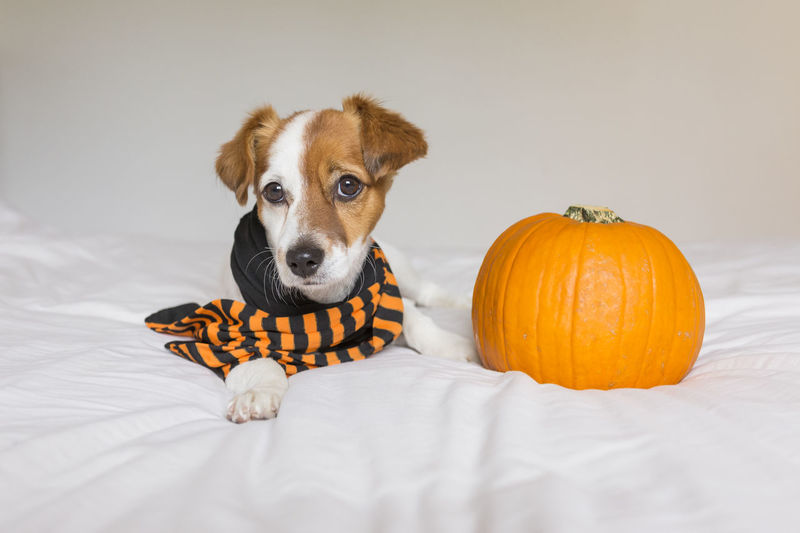 Portrait of dog with pumpkin on bed at home