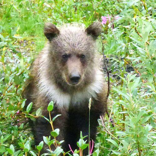 Grizzly Bear Bear Cub Denali National Park Alaska