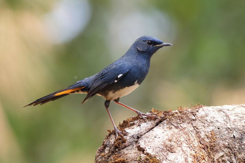 White-bellied Redstart Hodgsonius Phoenicuroides White Bellied Redstart Animal ASIA Background Portrait Bright Beautiful Birds Birdwatching Cute Exotic Forests Green Wild Wildlife Nature Outdoor Wing Habitat Jungle Horizontal Close Up Male Female Color Colorful Wood Feather  Photography Tail Eyes Tree Face Ecology Environment HEAD Branch Bough Stick Twig Avian Beak Perched