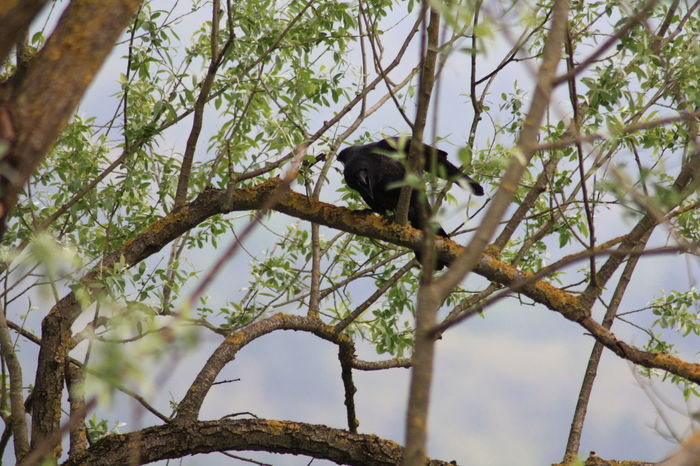 Animal Themes Crow Day Green Color Nature One Animal Outdoors Tree Wildlife