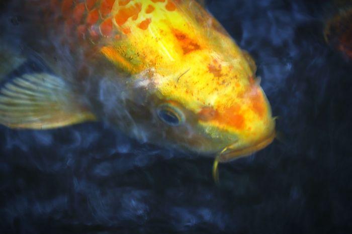 Fish One Animal Underwater Animal Wildlife Animals In The Wild No People Swimming Close-up Animal Fin Water Outdoors Day Carp 鯉 水中 EyeEmNewHere