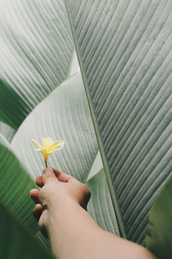Calathea Close-up Day Flower Flower Head Fragility Frangipani Freshness Holding Human Body Part Human Hand Leaf Nature One Person Outdoors People Real People Sommergefühle