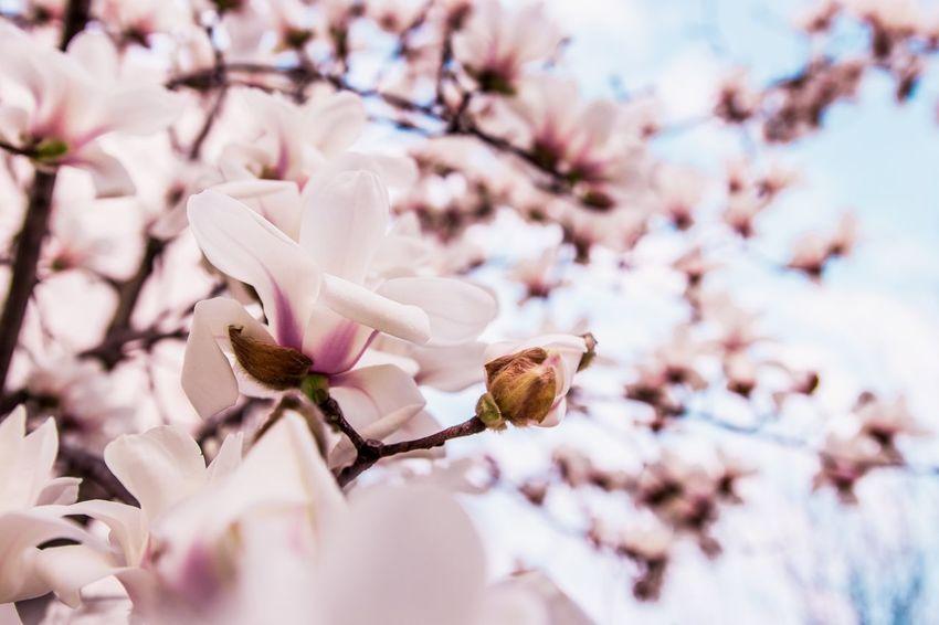 玉兰 EyeEm Selects Flower Fragility Blossom Beauty In Nature Springtime Tree Branch Nature Growth Freshness Petal White Color Botany Magnolia Flower Head No People Day Selective Focus Close-up Pink Color
