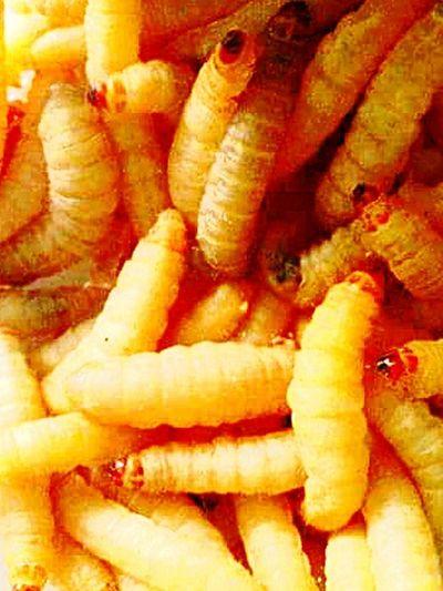 Waxworms Larvae Bug
