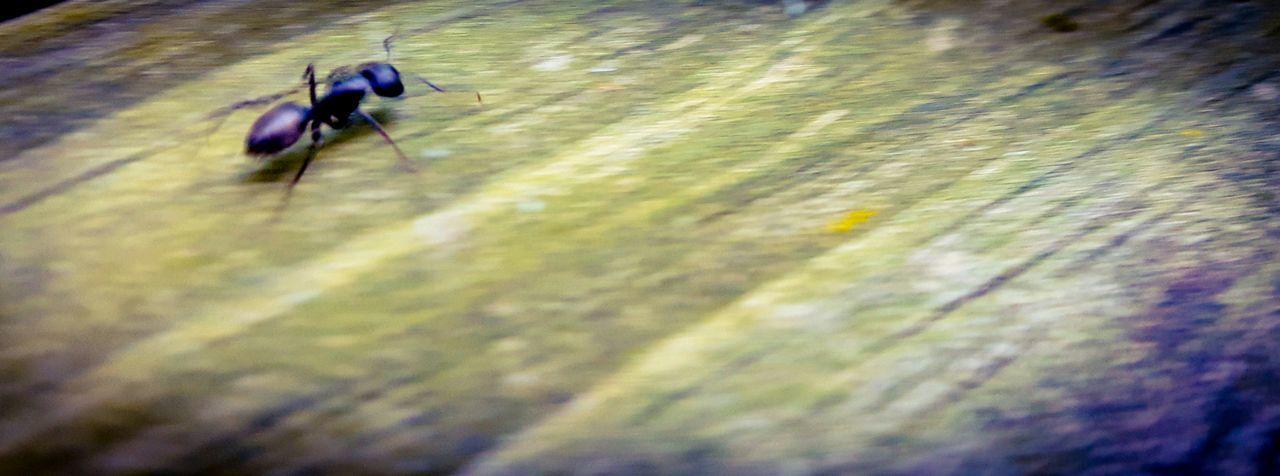Ant racing