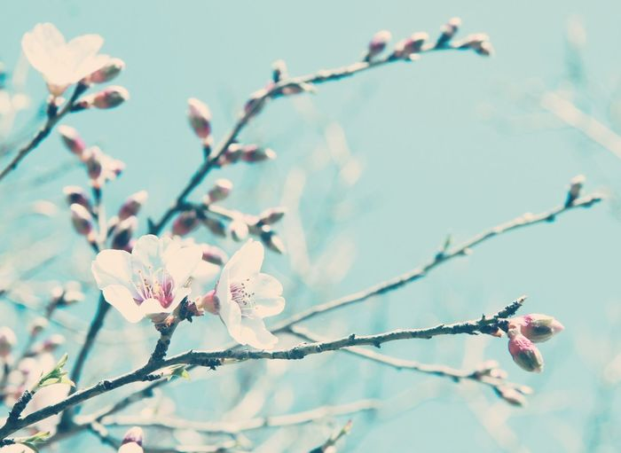 Low angle view of white flowers blooming on almond tree