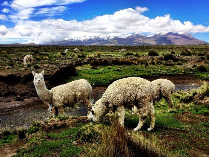 Lamas Grazing On Field