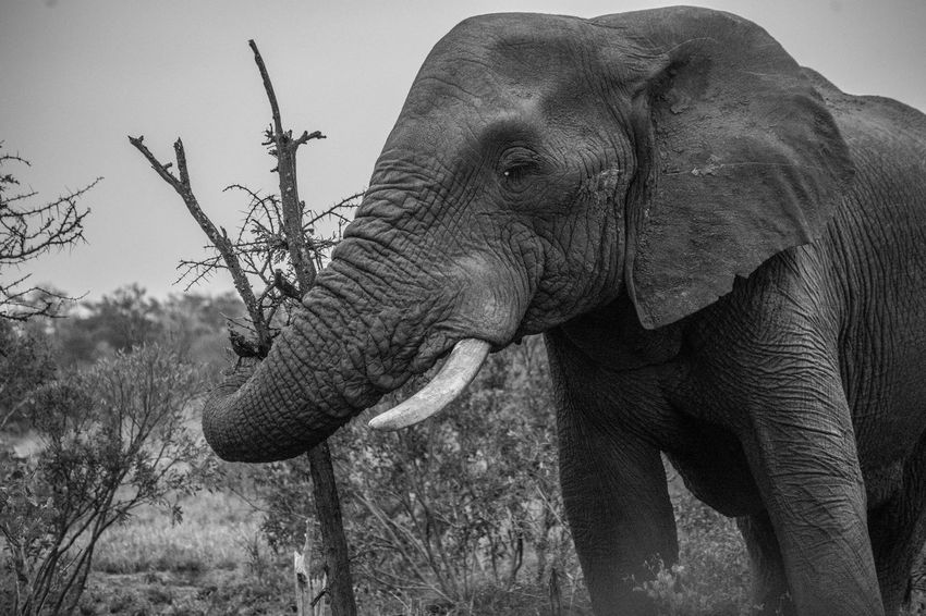 Animals In The Wild Dark Land Nature Africa Animal Themes Black And White Blackandwhite Elephant Foliage Landscape Majestic Monochrome Nature_collection Power In Nature
