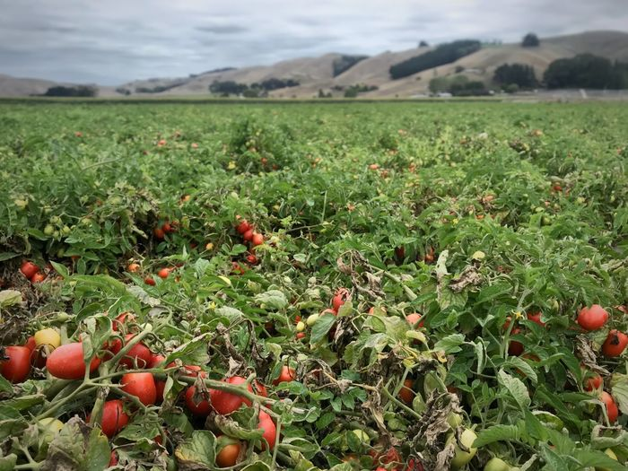 Commercial tomato farm with processing tomatoes. Commercial Agriculture Crop Production Agriculture Processing Tomato Roma Tomato Focus On Foreground Horizontal Tomato Field Tomatoes Tomato Field Landscape Land Plant Growth Day Green Color Fruit Food Sky Mountain No People