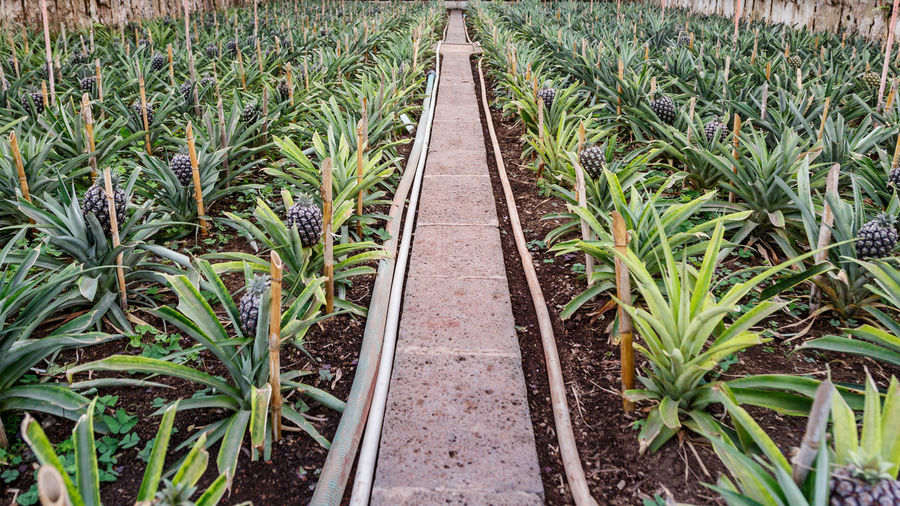 Ananas Pineapple Growth Plant Green Color Direction The Way Forward Nature Land Field Day Agriculture Leaf Plant Part Crop  High Angle View No People Outdoors Landscape Rural Scene Transportation Farm Diminishing Perspective Track Plantation Parallel