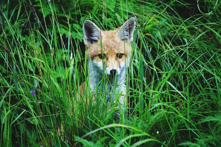 Portrait Of Fox In Grass