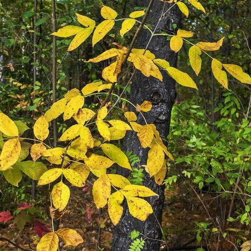 Fall colours, Kleinburg, ON, 2018. Canada Tree Leaf Yellow Close-up Plant Leaves Fall Autumn Autumn Collection
