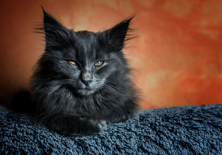 Onyx, the cat... Norvegianforrestcat Pets Portrait Feline Looking At Camera Domestic Cat Home Interior Black Color Alertness Whisker Sitting Yellow Eyes Animal Eye Kitten