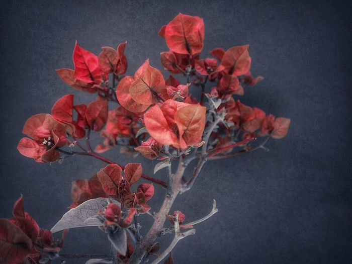 Coral Bougainvillea Bougainvillea Flower Tropical Plants Coral Rose Flower Head Flower Black Background Red Studio Shot Close-up Plant Plum Blossom Rose Hip Wild Rose Bunch Of Flowers Hydrangea Blossom Botany