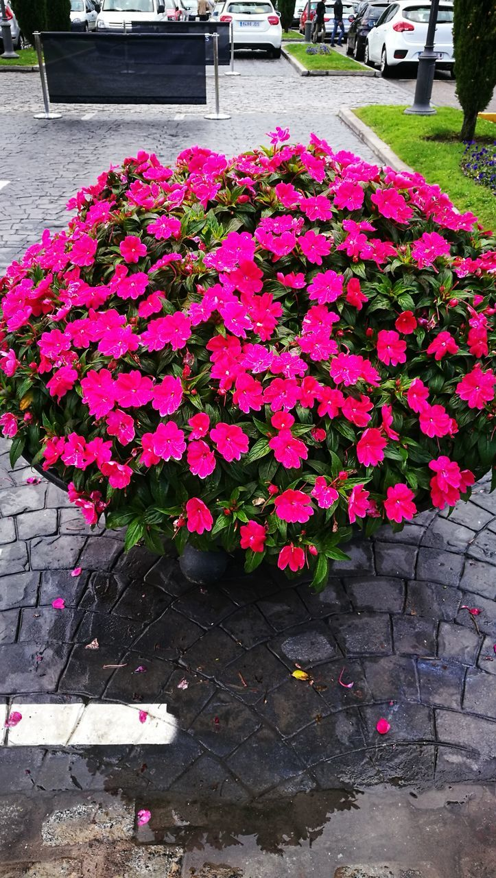 flower, petal, growth, plant, beauty in nature, fragility, nature, freshness, outdoors, blooming, pink color, no people, day, flower head, red, close-up, window box, petunia