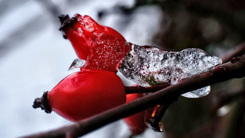 Rose Hip Beauty In Nature Close-up Cold Temperature Day Focus On Foreground Freshness Fruit Growth Hagebutten Nature No People Outdoors Red Rose Hip In Ice Winter Shades Of Winter The Still Life Photographer - 2018 EyeEm Awards