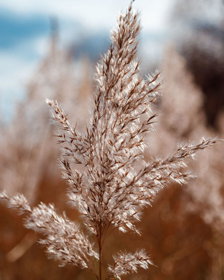 The partially weathered stems of the fluffy reeds sway in the wind.