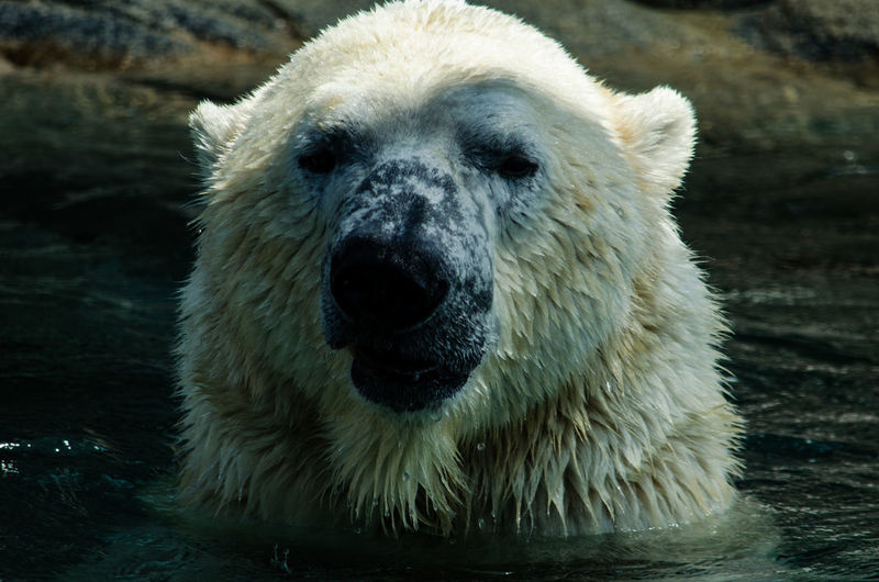 Close-Up Portrait Of Polar Bear