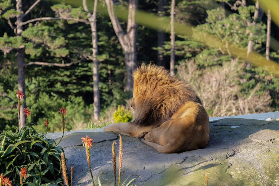 Lion looking out over forest Animal Animal Themes Lion Mammal No People Wellington Zoo Wildlife Wildlife & Nature Wildlife Photography