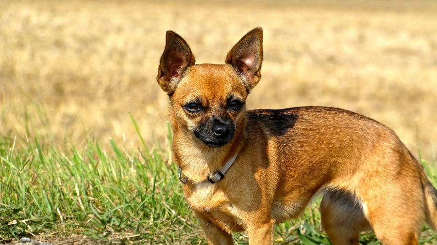 Portrait Of Chihuahua On Field