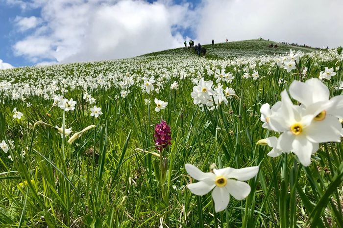 Daffodils Daffodil Flowering Plant Flower Plant Freshness Vulnerability  Beauty In Nature Fragility Growth Field Land White Color Cloud - Sky Sky Petal Nature Flower Head Inflorescence Grass Close-up Day