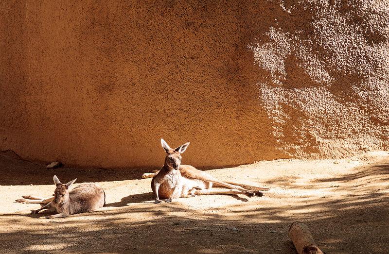 Kangaroos at forest