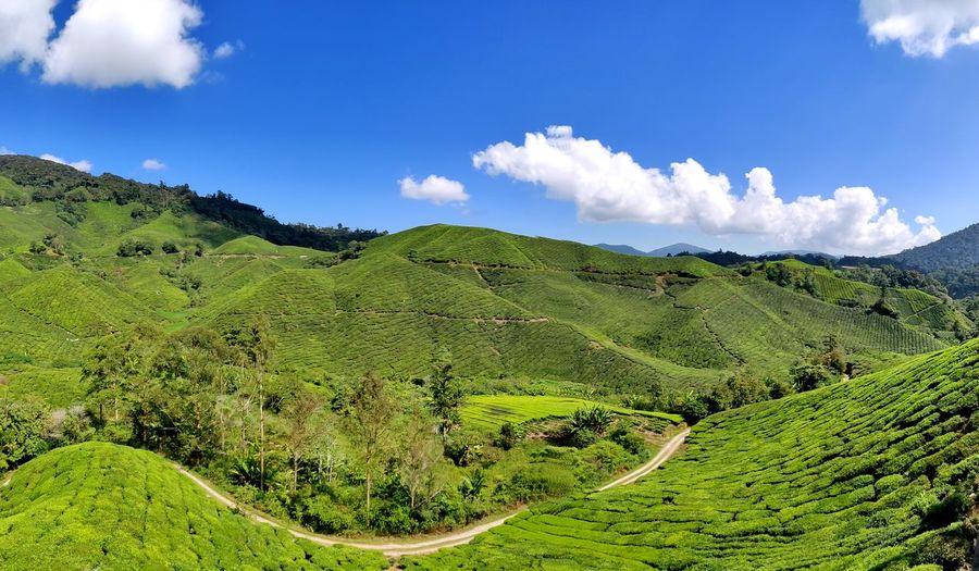 Tea farm with