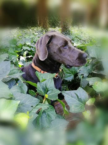One Animal Grey Dog. Ivy Plants Animal Themes Pets Domestic Animals Outdoors Dogslife Close-up Dog Playtime no people