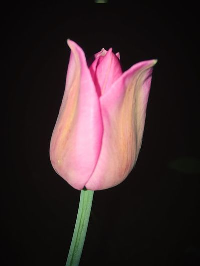 Flower Flowering Plant Petal Fragility Plant Vulnerability  Freshness Pink Color Flower Head Nature Growth No People Tulip Black Background Beauty In Nature